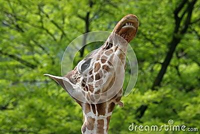 Giraffe showing its teeth