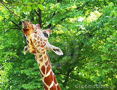 Giraffe shows his tongue