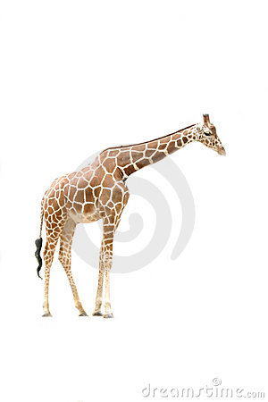 Free Giraffe Side View Stock Image - 706481