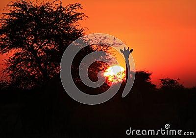 Giraffe Silhouette Sunset 2 - Africa !!!