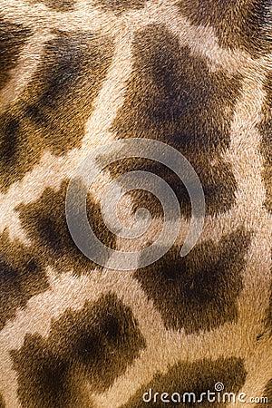Giraffe skin texture