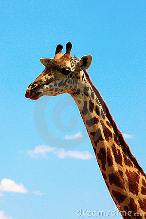 Giraffe on sky portrait