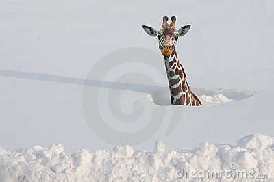 Giraffe in snow