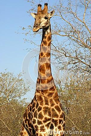 Free Giraffe (South Africa) Royalty Free Stock Photo - 4295975