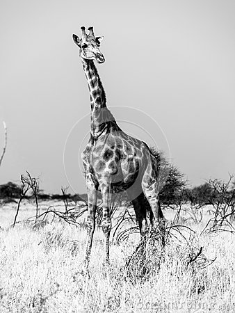 Free Giraffe Standing In The Savanna. African Wildlife Safari Scene In Etosha National Park, Namibia, Africa. Black And White Stock Images - 86543574