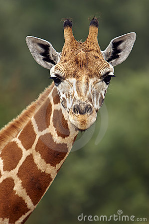 Free Giraffe Stare Stock Photo - 314630
