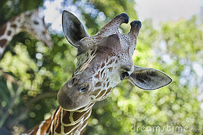 Giraffe staring at camera