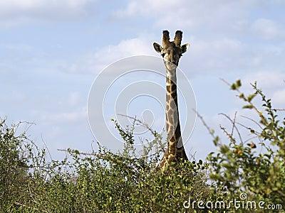 Giraffe staring in Tsavo East Park, Kenya