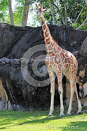 Giraffe with stick