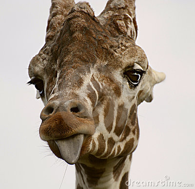 Free Giraffe Sticking Out Tongue Stock Images - 8734064