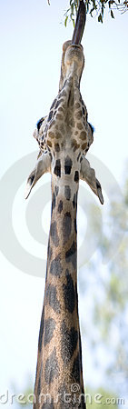 Giraffe Strech Panoramic
