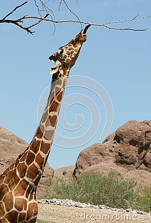 Free Giraffe Stretch Stock Images - 3197064