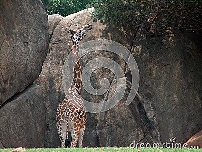 Giraffe Stretching for High Vegetation