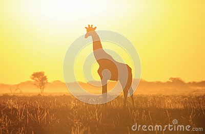 Giraffe Sunset Silhouette and Yellow Light - Wildlife Background and Beauty from the wilds of Africa.