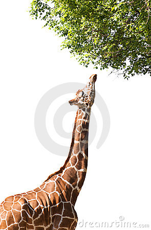 Giraffe takes food, isolated