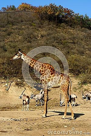 Giraffe with  takins