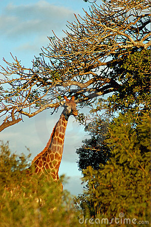 Giraffe by tall trees