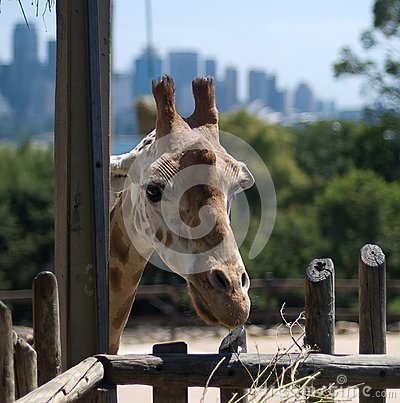 Giraffe in Taronga Zoo, Sydney