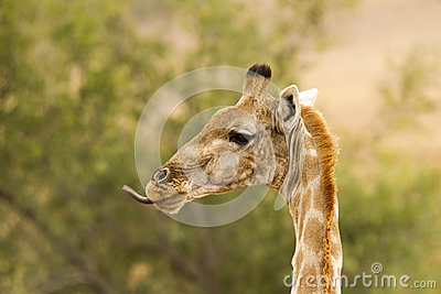 Giraffe with tounge out
