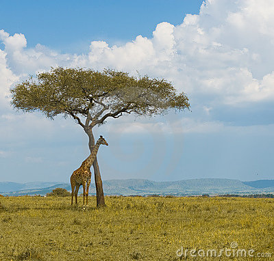 Giraffe and a tree