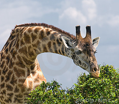 Giraffe and a tree, african wildlife, safari