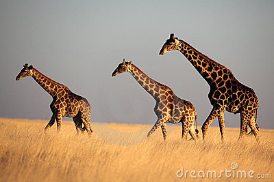 Giraffe trio in late afternoon light