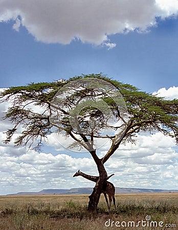 Giraffe under a tree