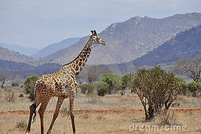 Giraffe walking Africa
