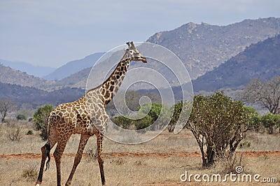 Giraffe walking Africa