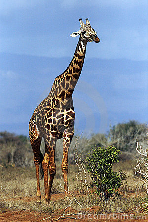 A Giraffe Walking Through The Bush