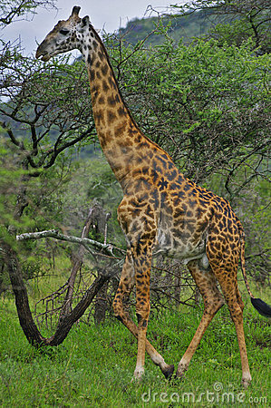 Giraffe walking in front of trees, Tanzania.