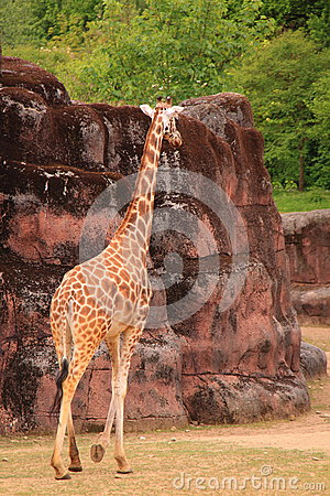Giraffe walking in zoo