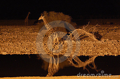 Giraffe at a waterhole in the night - Etosha Park,