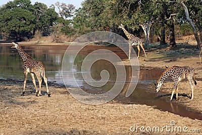 Giraffe at waterhole, Zambia, Africa