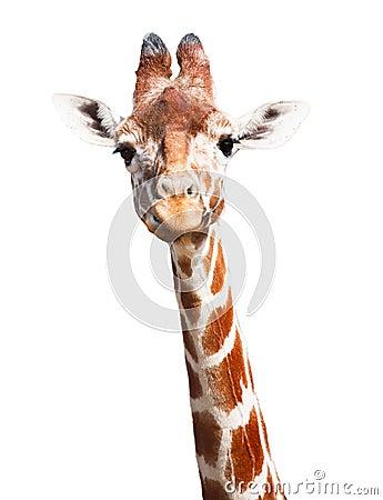 Free Giraffe White Background Stock Photography - 26728862