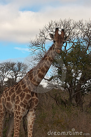 Giraffe in Wild Landscape