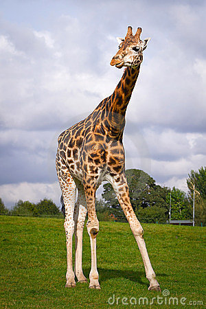Giraffe in wildlife park