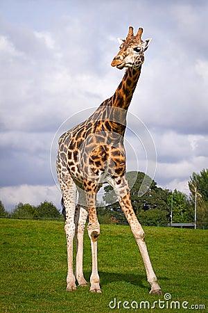 Giraffe in wildlife park