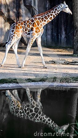 Free Giraffe With Reflection In Rain Puddle Stock Images - 133183834