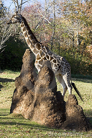 Free Giraffe With Termites Stock Photography - 7835442
