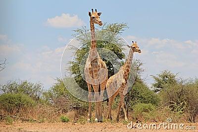 Giraffe, young