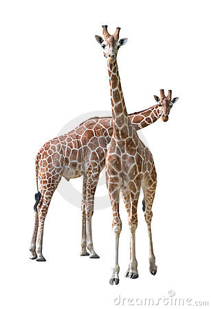 Free Giraffe Young Couple Royalty Free Stock Images - 9008409