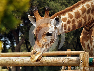 Giraffe in zoo