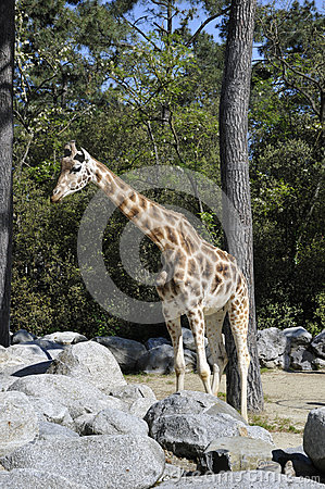 Giraffe in a Zoo Enclosure with rocks