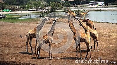 Giraffes στο πάρκο σαφάρι απόθεμα βίντεο