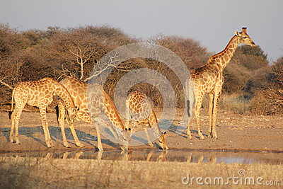 Giraffes - Africa s Golden Patterns