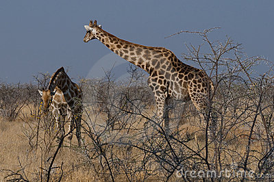 Giraffes in African savanna