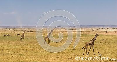 Giraffes in amboseli national park, kenya