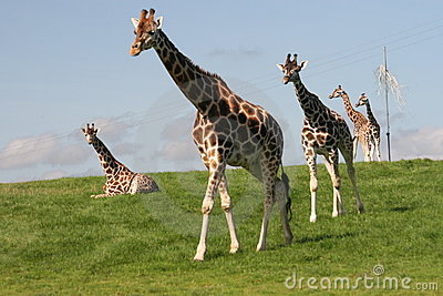 Giraffes Big Walk
