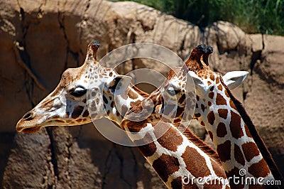 Giraffes closeup